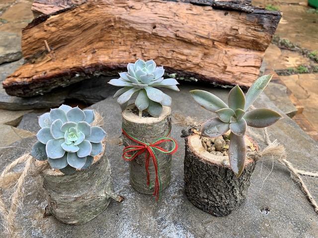 3 Succulents w Log